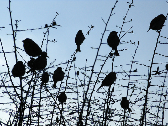 For the Birds, image - Sparrows, Kathy Hinde